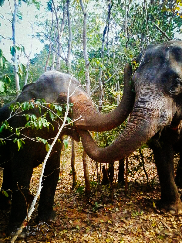 Surin Project: Elephant Conservation in Thailand: Elephant Friends