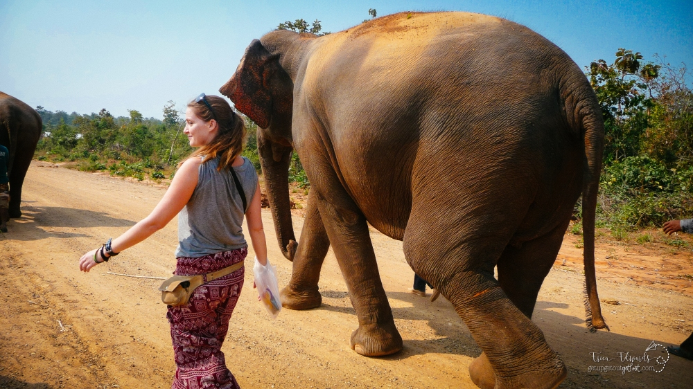 Surin Project: Elephant Conservation in Thailand: Walking with Gentle Giants